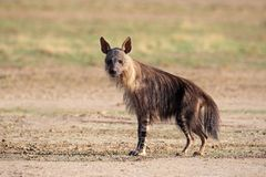 brun hyena Arkivfoto