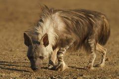 brun hyena Royaltyfri Fotografi
