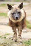 brun hyena Arkivbild