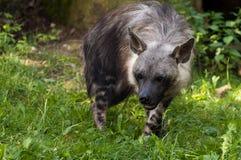 Brun hyena Fotografering för Bildbyråer