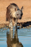 Brun hyena Arkivbilder