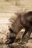 Brun hyena på det bevattna hålet Arkivbild