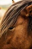 Brun isländsk häst close upp fotografering för bildbyråer