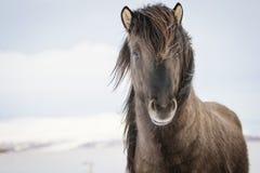 Brun isländsk häst i snön fotografering för bildbyråer