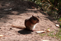 Brun jordekorre som äter hans mat Arkivfoto
