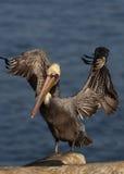 brun Kalifornien pelikan Royaltyfri Bild