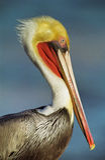 brun Kalifornien pelikan Arkivbilder