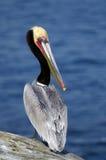 brun Kalifornien utsatt för fara pelikan Royaltyfri Bild