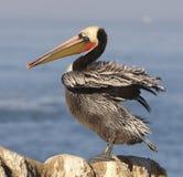 brun Kalifornien utsatt för fara pelikan Arkivbild