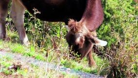 Brun kalv som betar på bergängen på den soliga dagen, en ko lager videofilmer