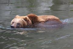 brun kamchatka för björn simning royaltyfri bild