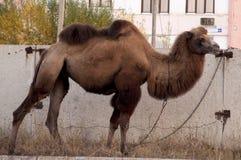 Brun kamel på gatorna av storstaden med byggnader och graffity för en bakgrundsod Arkivfoto