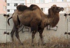 Brun kamel på gatorna av storstaden med byggnader och graffity för en bakgrundsod Arkivbilder