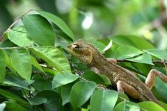 Brun kameleont på stjärnafruktträdet arkivfoto