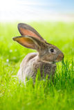brun kanin Royaltyfri Bild