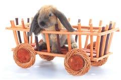 brun kanin Arkivbild