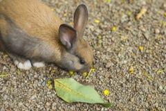 brun kanin Fotografering för Bildbyråer