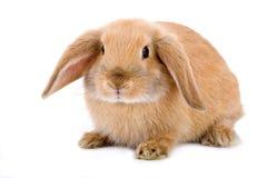 brun kanin isolerad white Fotografering för Bildbyråer