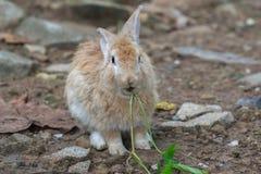 Brun kanin med vaggar Royaltyfri Bild