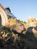 Brun kanin (Oryctolaguscuniculusen) Royaltyfri Bild