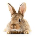 Brun kanin på vit Royaltyfria Bilder