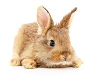 Brun kanin på vit Royaltyfri Bild
