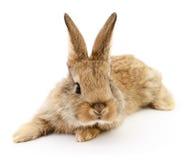 Brun kanin på vit Arkivbilder