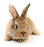 Brun kanin på vit Royaltyfri Fotografi