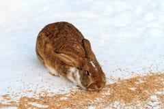 Brun kanin som äter vetekorn i vinter på snöig golv royaltyfria bilder