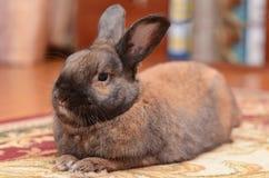Brun kanin som hemma vilar Arkivbilder