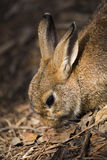 Brun kaninstående Royaltyfria Foton