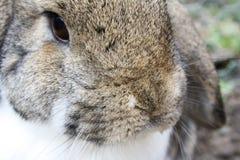 brun kaninwhite Royaltyfria Foton
