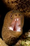 brun karibisk moray Royaltyfri Foto