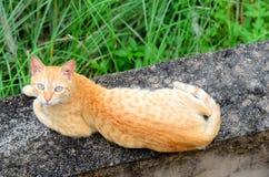 Brun katt Royaltyfria Bilder
