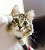 Brun katt av den siberian aveln i huset Arkivbilder