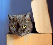 Brun katt i en ask Royaltyfria Foton