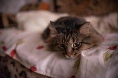 Brun katt som ligger på soffan och ser ägaren royaltyfri bild