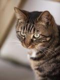brun kattgrey Arkivbild