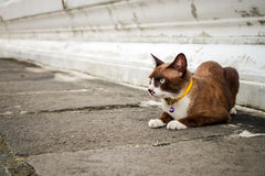 Brun kattkrage, guling Royaltyfri Bild