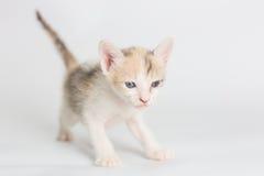 Brun kattunge Fotografering för Bildbyråer