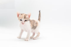 Brun kattunge Arkivfoto