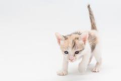 Brun kattunge Arkivfoton