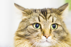 Brun kattunge, härlig typ av den siberian aveln Royaltyfri Foto