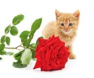 Brun kattunge och en röd ros Royaltyfria Foton