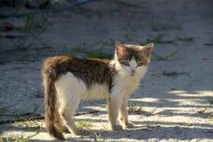 brun kattungewhite Fotografering för Bildbyråer
