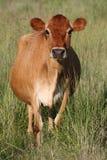 brun ko Arkivbild