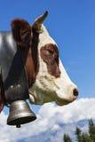 Brun ko i alpint berg Arkivfoton