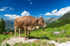 Brun ko i berglandskap Arkivfoto
