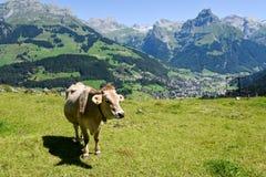 Brun ko i den alpina ängen på Engelberg Arkivfoto
