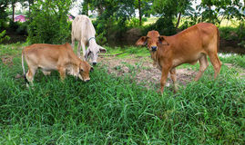 Brun ko   i en prärie i Thailand Royaltyfria Foton